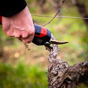 Taille de la vigne
